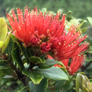 Two new species of fungi that kill ʻōhiʻa trees get Hawaiian names