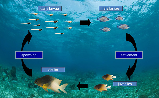 Illustration of life cycle of a fish: adults, spawning, early larvae, late larvae, settlement, juveniles, adults, etc.