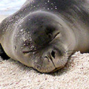Monk seal research supported by new UH Foundation fund