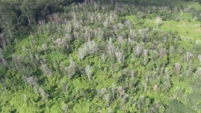 Forest afflicted with Rapid Ohia Death