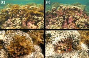 four different photos of sea urchins on a reef