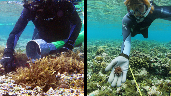 two divers working with sea urchin on an ocean reef