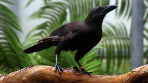 Alala or Hawaiian Crow, click for larger image