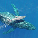 Rare video of newborn humpback whale from UH marine mammal research
