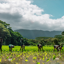 Study shows indigenous agriculture could play vital role in Hawaiʻi