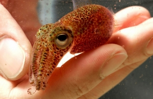 small squid scooped into a hand