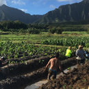 Biocultural restoration of traditional agriculture contributes to Hawaiʻi's sustainability goals