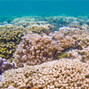 Soft tissue makes coral tougher in the face of climate change