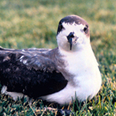 After 50 years of silence, endangered seabird heard on Maunakea