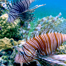 Invasive lionfish invasion focus of research model