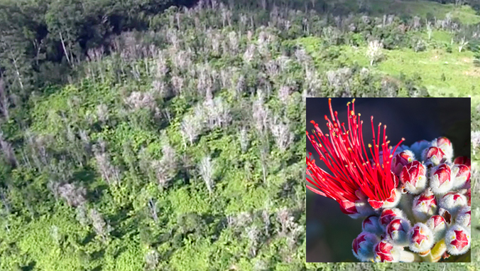 ohia forest with ohia flower inset