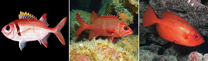 Red fish: Uu, alaihi and aweoweo
