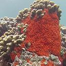 Unique dietary strategy of invasive marine sponge
