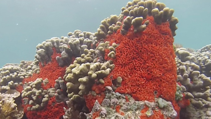 Sponge overgrowing coral