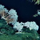 Critical findings reveal deep-sea coral communities growth rates