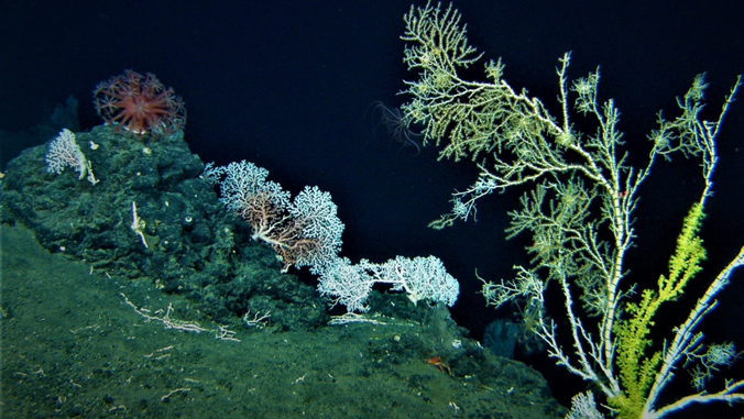 deep water coral