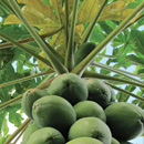Moloka'i farmers urged to 'think like a papaya'