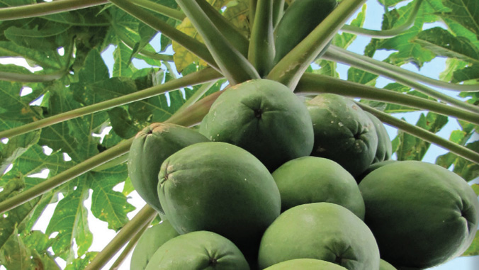 close up of green papayas