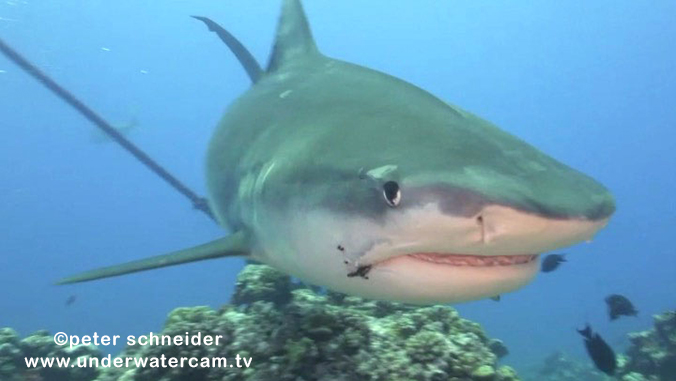 shark with hook in mouth