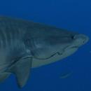 Shark study: Old fishing hooks remain threat to sharks