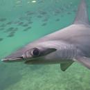 Hammerhead sharks hold breath to keep warm on deep dives