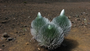 cluster of green silversword plants