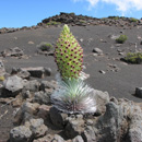 UH study suggests how to save rare Haleakalā silverswords