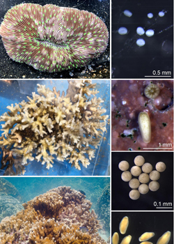 larval stages of corals
