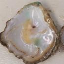 Undocumented oyster species identified