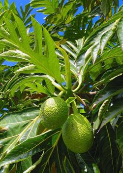 ulu or breadfruit