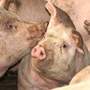 CTAHR helps pork producers weather COVID-19 crisis