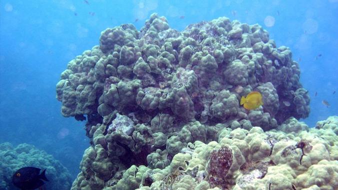 maui coral