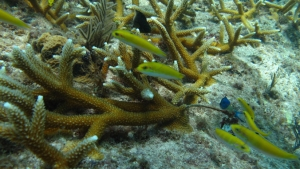 healthy staghorn coral