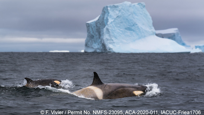 Two orca and an iceberg