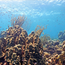 Threat to coral found through bacteria