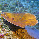 Surprising growth rates discovered in deepest photosynthetic corals