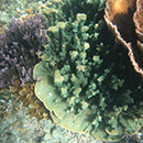 Waikīkī Aquarium adds non-native coral species to its collection