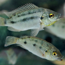 Tilapia fish guts provide insight to growth hormone effects