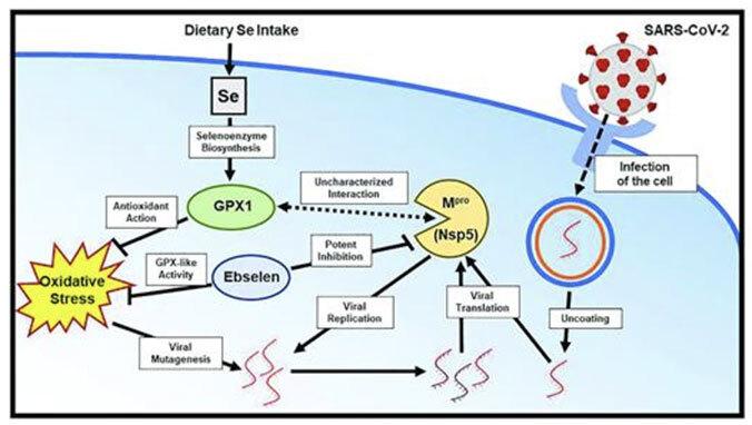 diagram of research on selenium study