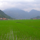 Rise of rice farming in Asia 3,000 years ago explained in UH research