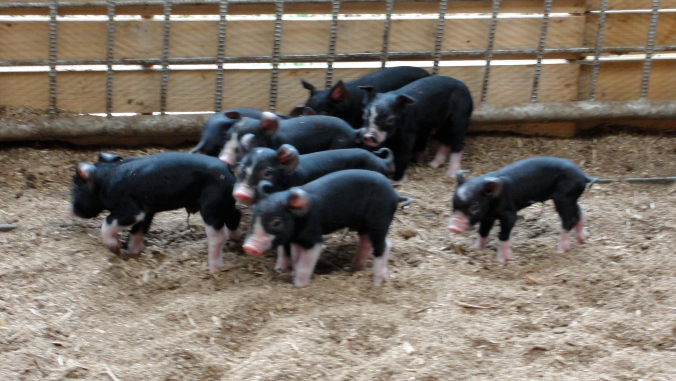 black pigs in piggery