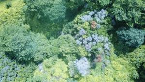 rapid ohia death on trees
