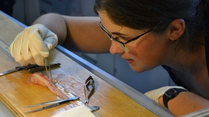 researcher dissecting a snail