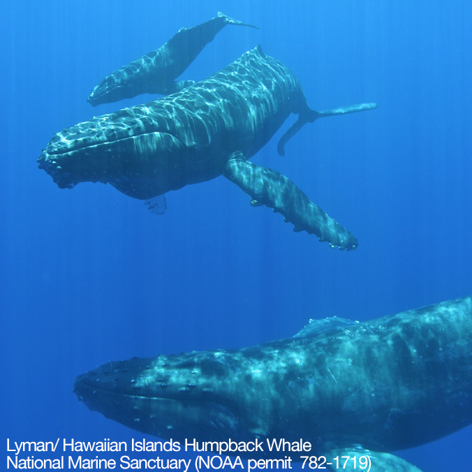 What's in a song? Hawaiʻi's humpback whale population