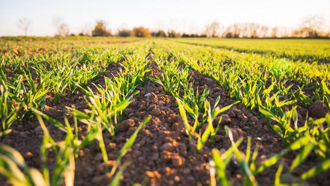 green crops on a field