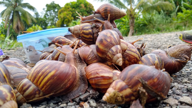 Environmental factors, species influence rat lungworm infection in snails