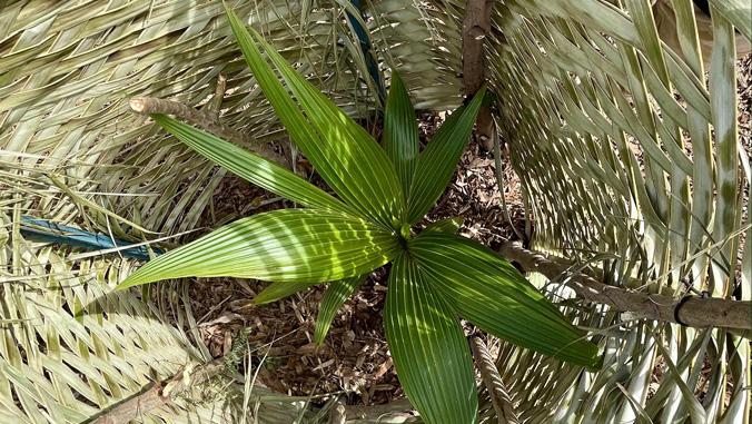 niulii plant