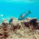 Oʻahu marine protected areas offer limited protection of coral reef herbivorous fishes