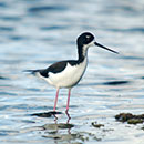 Indigenous practices could assist endangered waterbird recovery