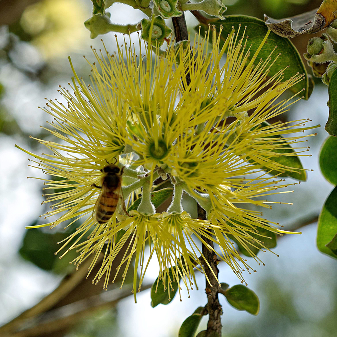 Arboretum accreditation, tree recognition for UH Mānoa campus